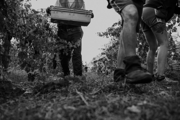 vintage margaret river wine region, grape pickers